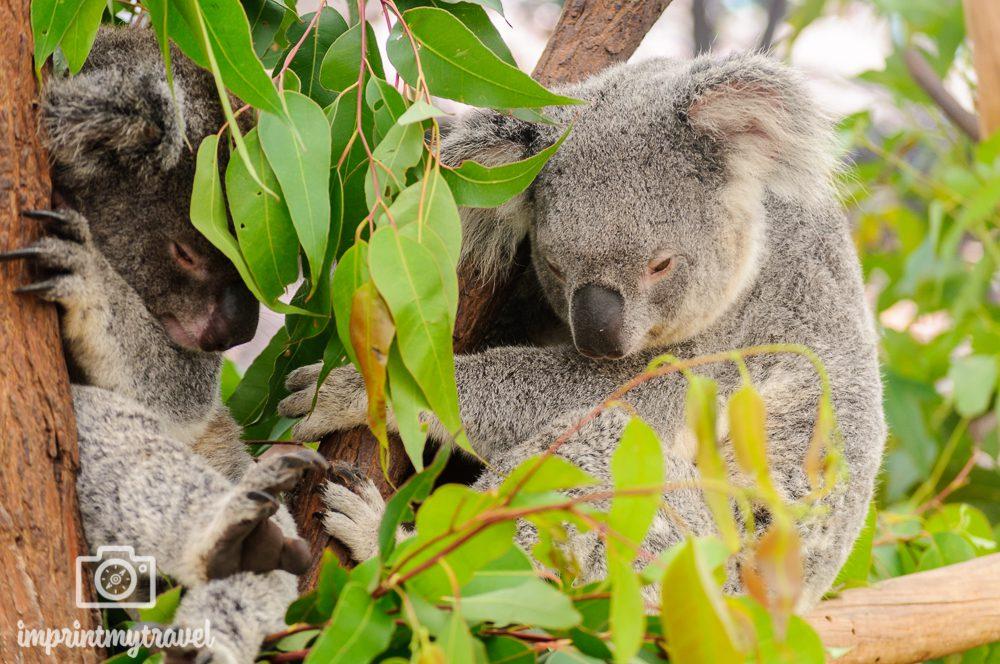 Australien, Brisbane, Koalas im Lone Pine Koala Sanctuary