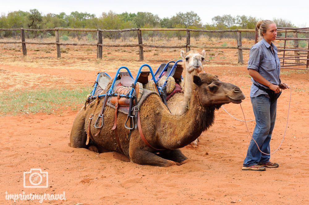 Outback Australien: Kamele