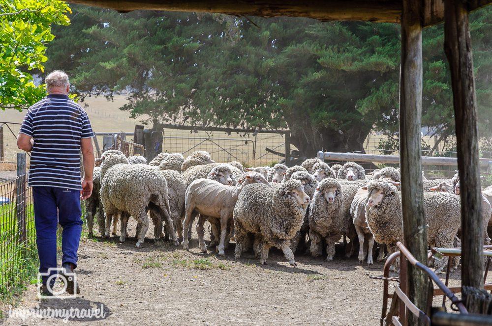 Kangaroo Island Robs Schaffarm