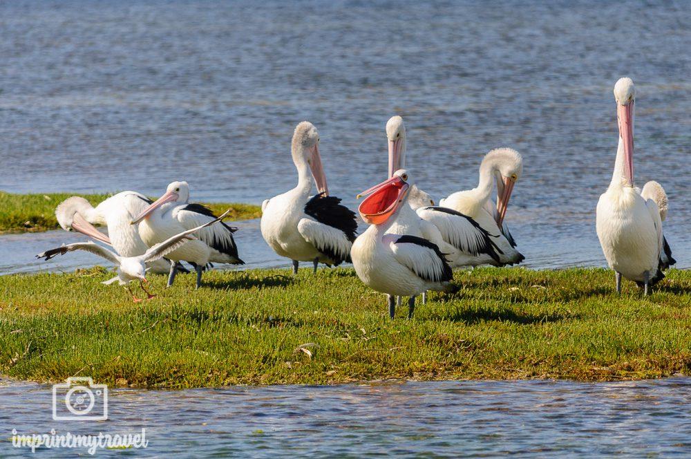 Kangaroo Island Pelikane