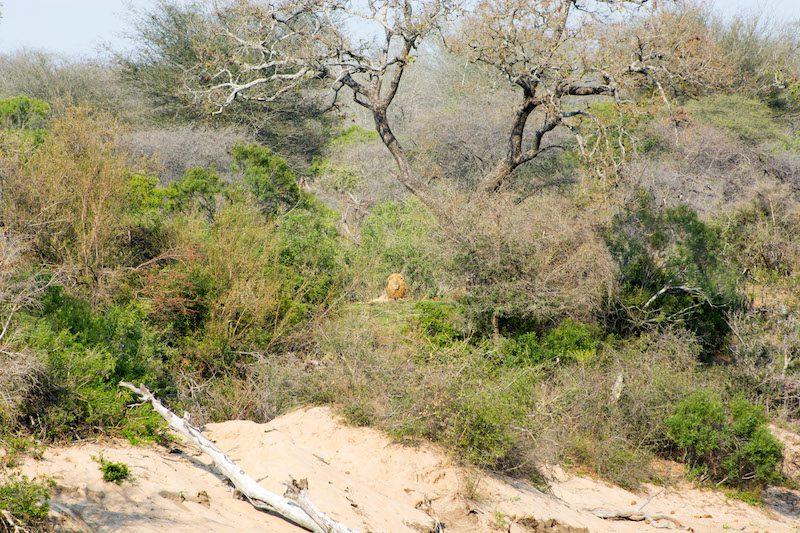 Fotografieren auf Safari: Löwe
