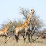 Safari in Südafrika: Meine Erlebnisse im Krüger-Nationalpark