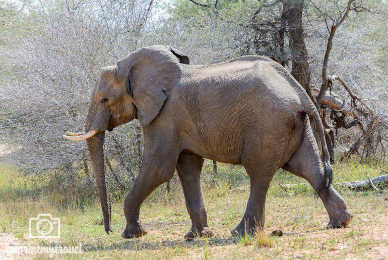 Südafrika Sehenswürdigkeiten Kruger Park Elefant