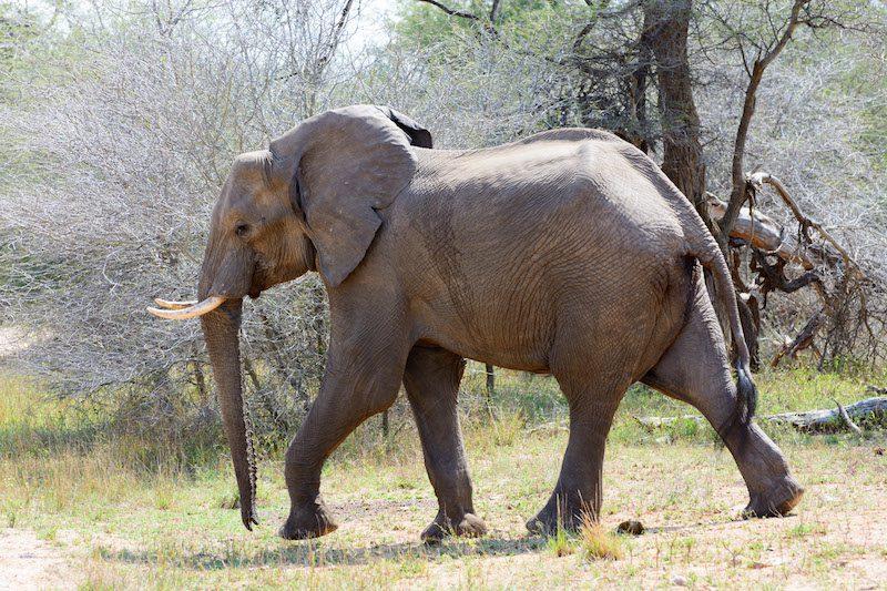 Krüger Nationalpark Elefant