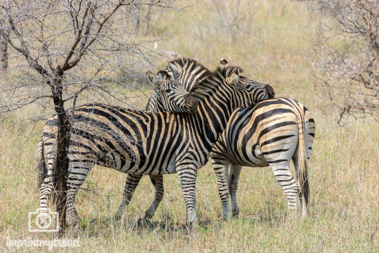 Südafrika Sehenswürdigkeiten Kruger Park Zebras