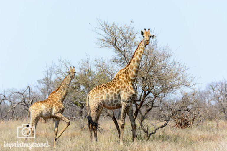 Südafrika Sehenswürdigkeiten Safari Kruger Nationalpark