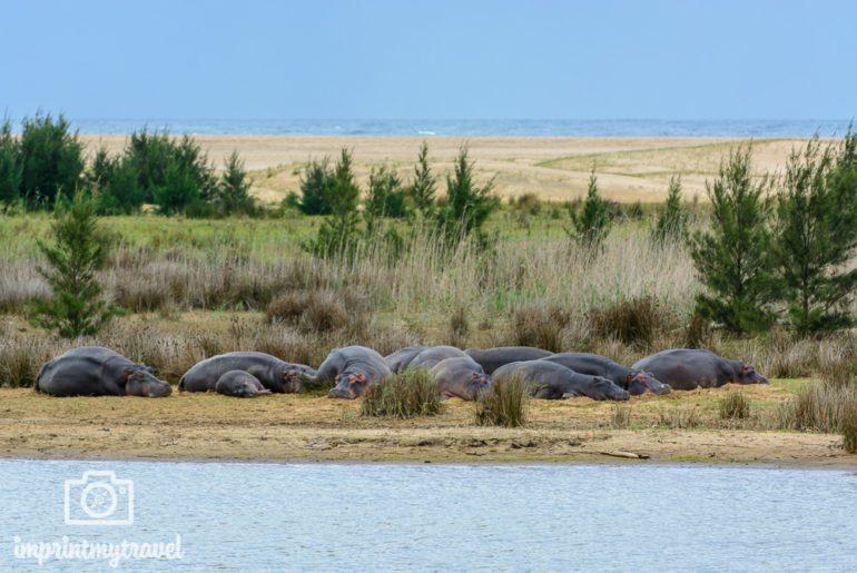 Südafrika Sehenswürdigkeiten St. Lucia Hippos