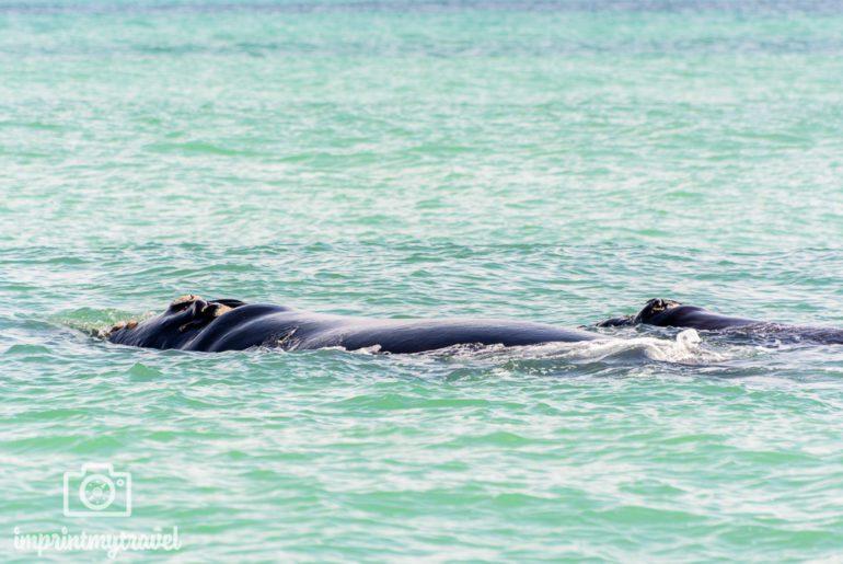 Südafrika Sehenswürdigkeiten Whale Watching Gansbaai
