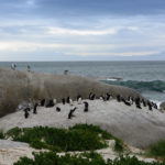 Pinguine Boulder Beach