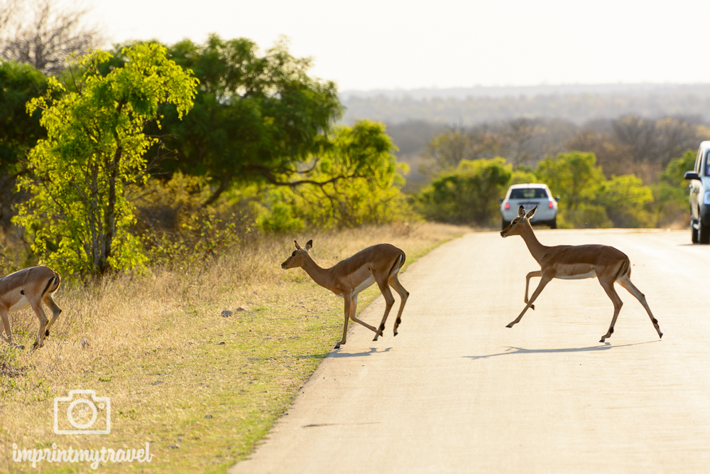 Safari im Kruegernationalpark Impalas