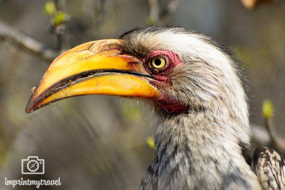 Fotografieren auf Safari: Gelbschnabel-Toko