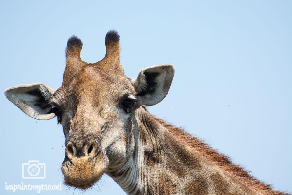 Fotografieren auf Safari: Giraffe