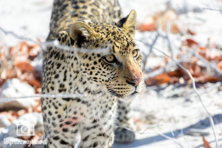 Fotografieren auf Safari Leopard