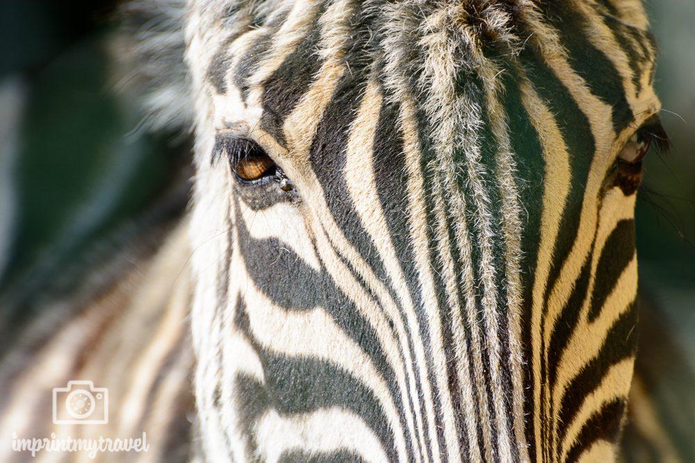 Fotografieren auf Safari üben, Zebra, Tiergarten Schönbrunn