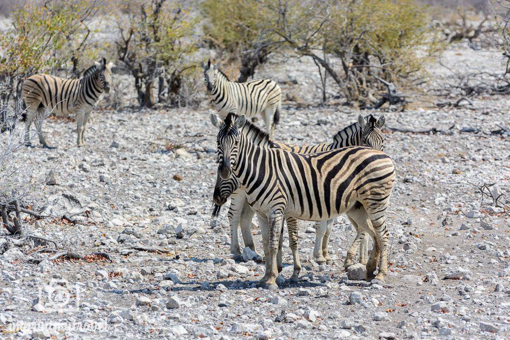 Etosha Nationalpark: Zebras