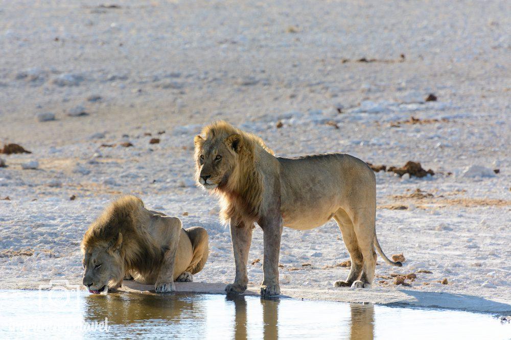 Afrika- Rundreise: Löwen im Etosha Nationalpark