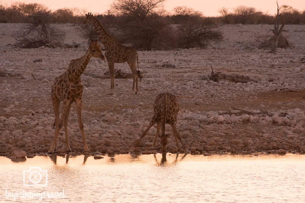 Etosha Nationalpark: Giraffen