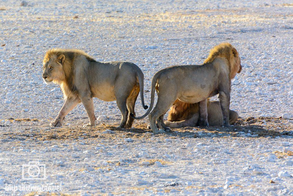 Löwenbrüder im Etosha Nationalpark