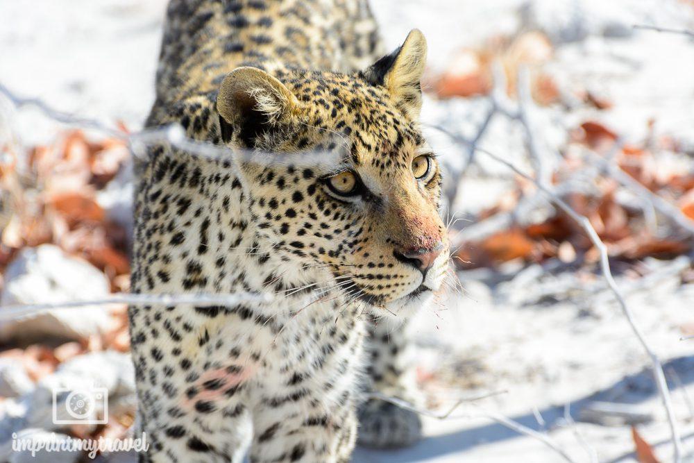 Etosha Nationalpark: Leopard