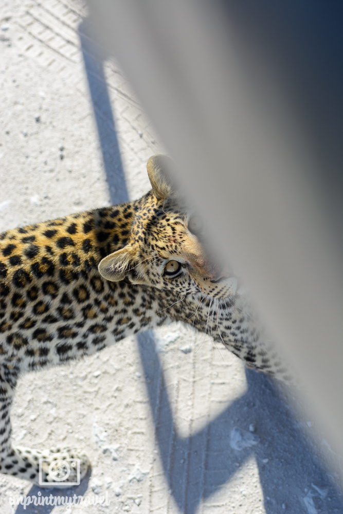 Etosha-Nationalpark: Leopard