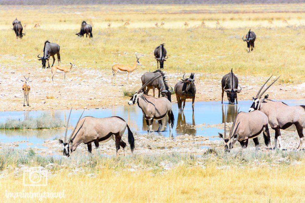 Gnus, Springböcke und Oryx-Antilopen im Etosha Nationalpark