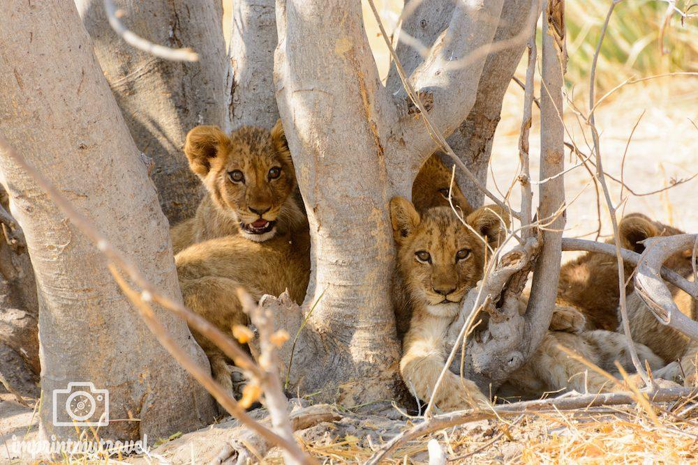 Tierschutz auf Reisen: Löwenbabys