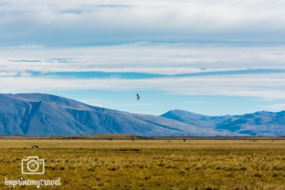 Patagonien Bilder: Kondor