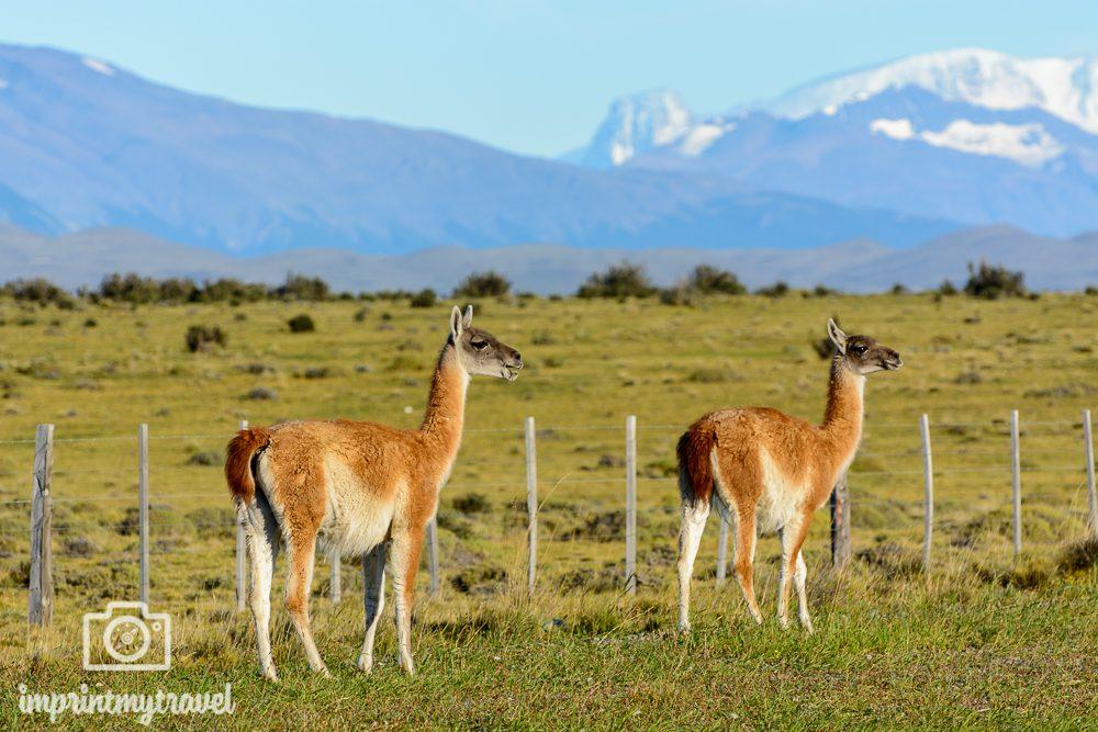 Patagonien Highlights Guanacos