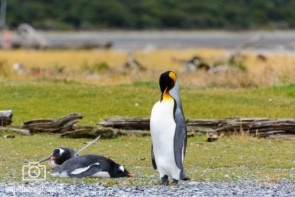 Patagonien Rundreise: Isla Martillo