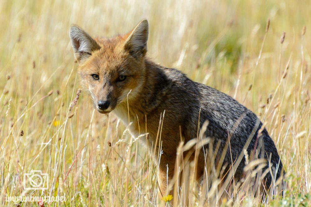 """Das """"W-Trekking"""" im Torres del Paine Nationalpark, Fuchs"""