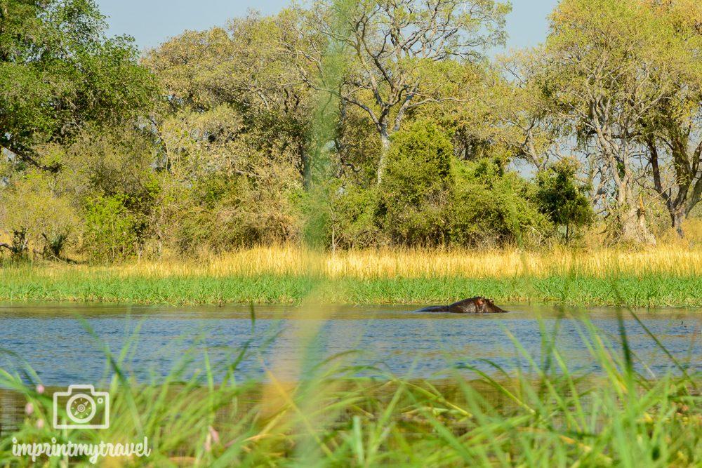 Okavango Delta Safari: Hippo