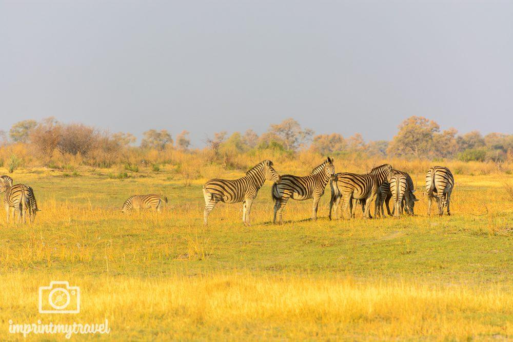 Okavango Delta Safari: Zebras