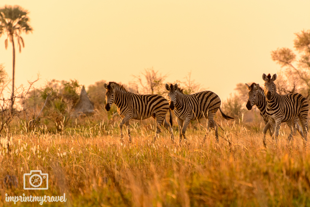 Okavango Delta Safari: Zebras im Abendlicht