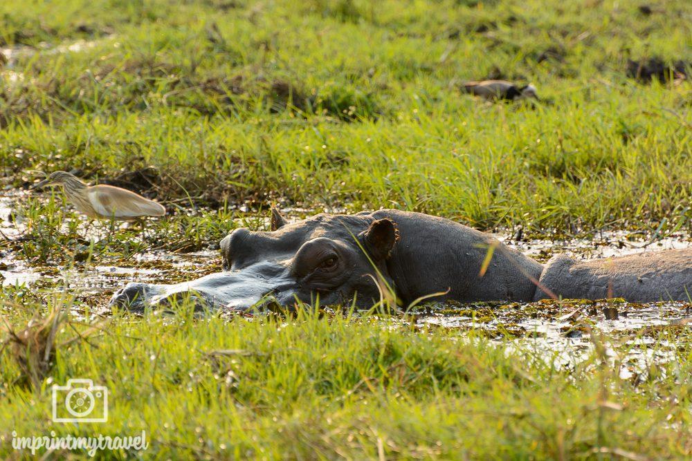 Safari im Chobe Nationalpark Hippo