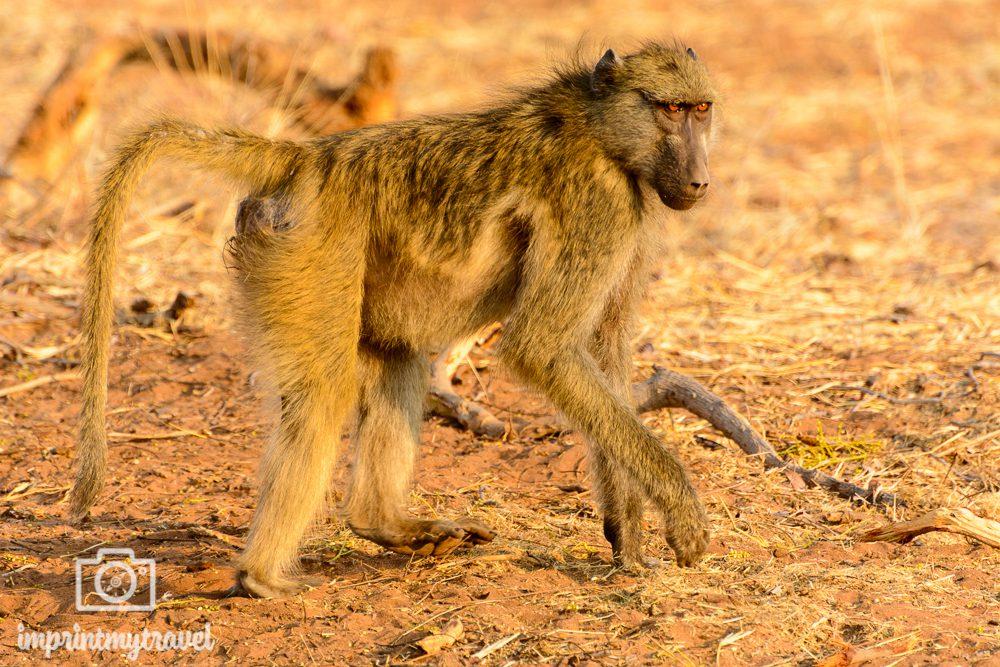 Safari im Chobe Nationalpark Paviane