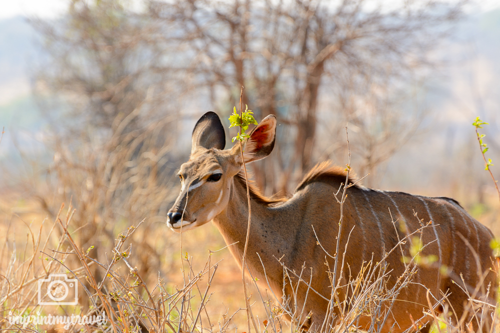 Safari im Chobe Nationalpark Kudu