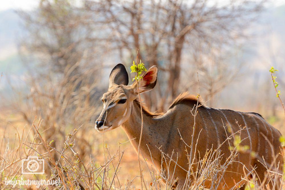 Safari im Chobe Nationalpark Kudu