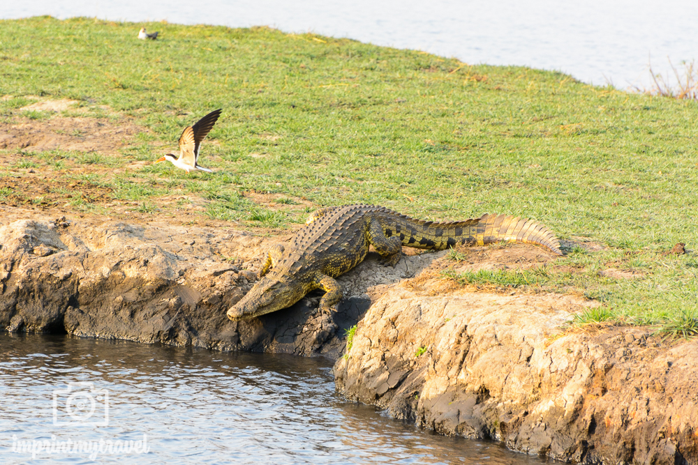 Safari im Chobe Nationalpark Krokodil