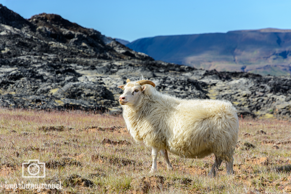 Island Bilder Schaf
