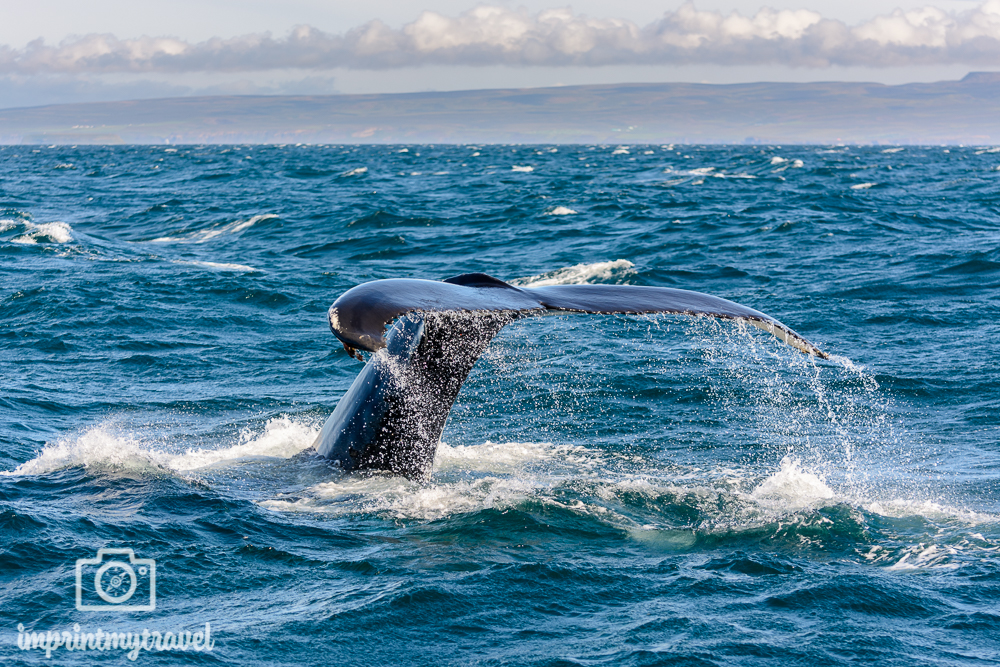 Whale Watching Husavik