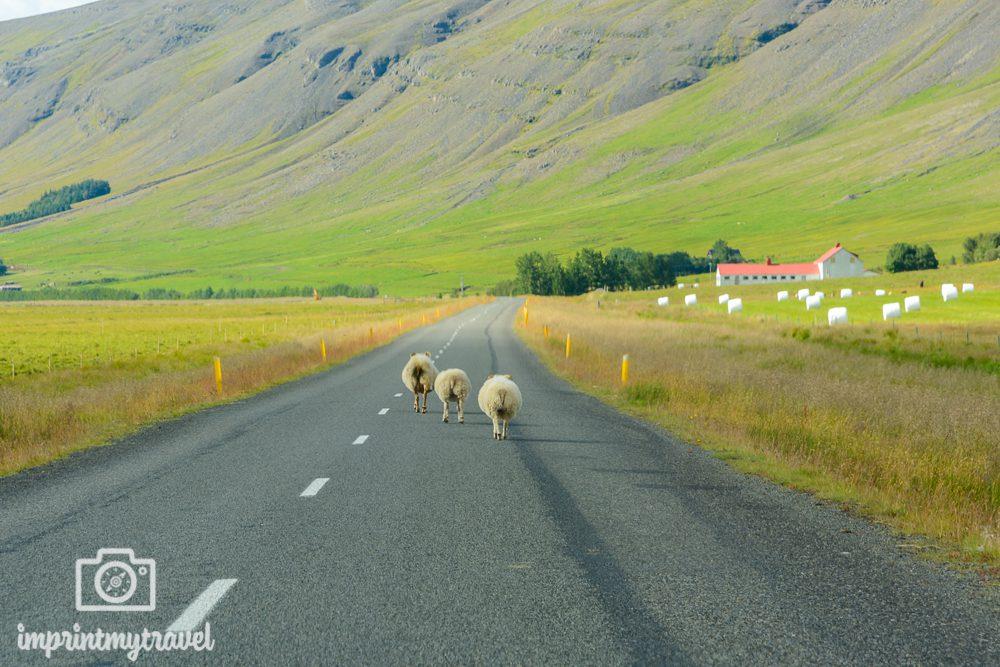 Mietwagen Island Gefahren durch Tiere
