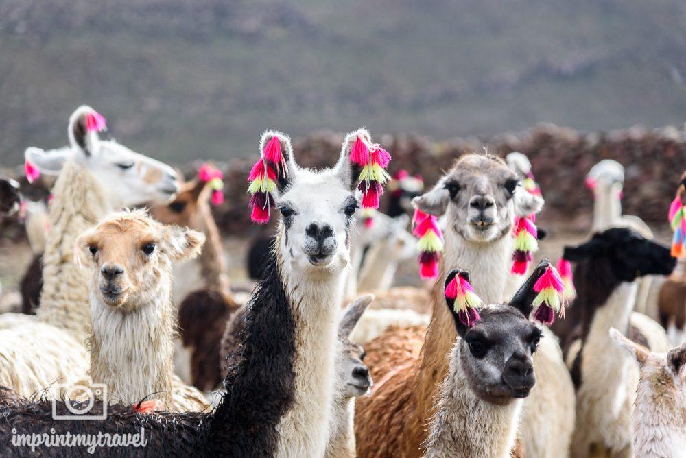 Lama Bilder Bolivien