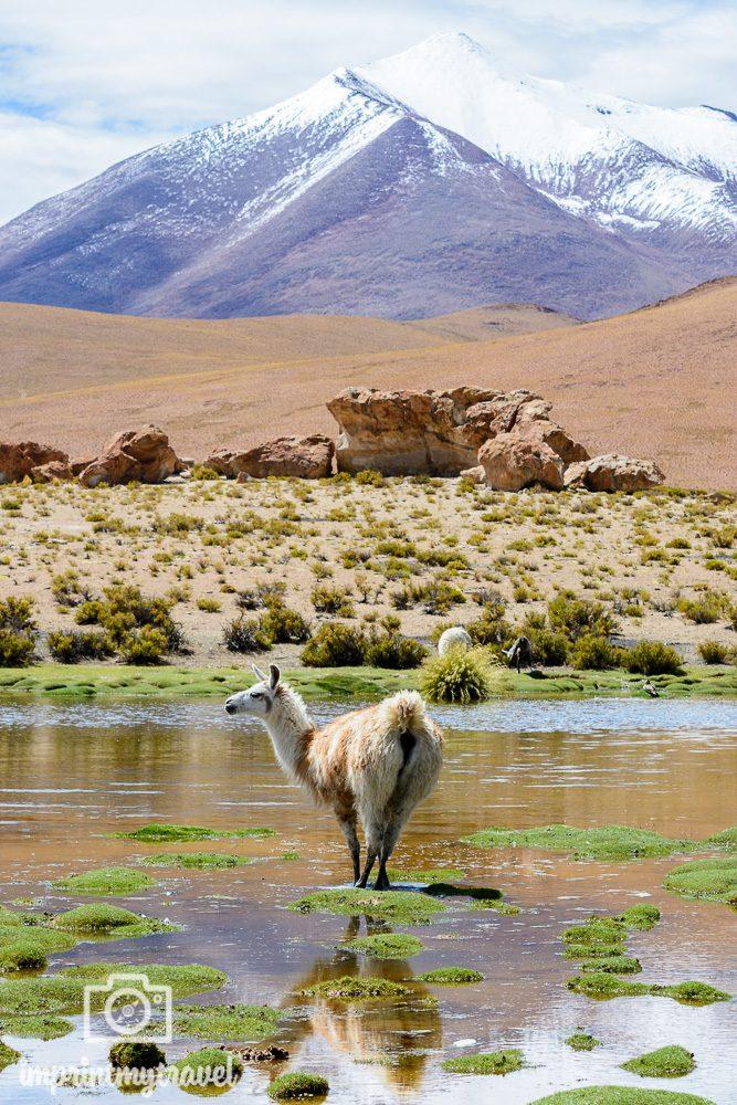 Bolivien Bilder Laguna Negra Lama