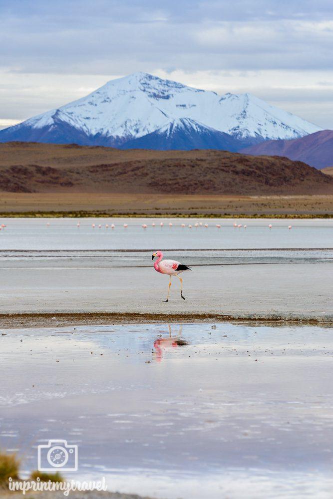 Bolivien Bilder Laguna Hedionda Flamingo