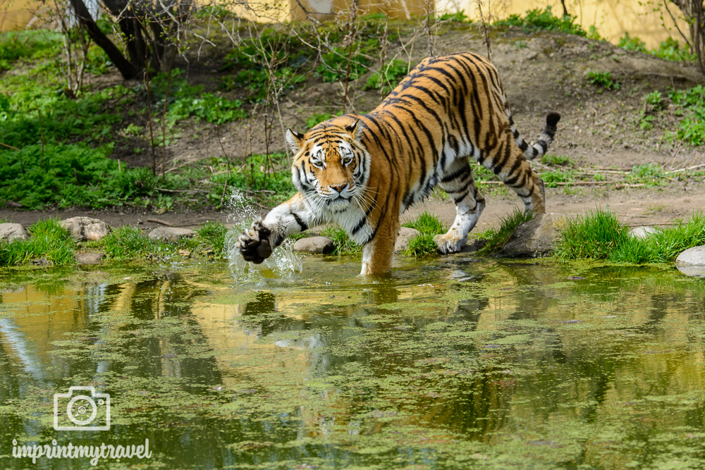 Fotoparade 1 - 2018 Tierisch Tiger
