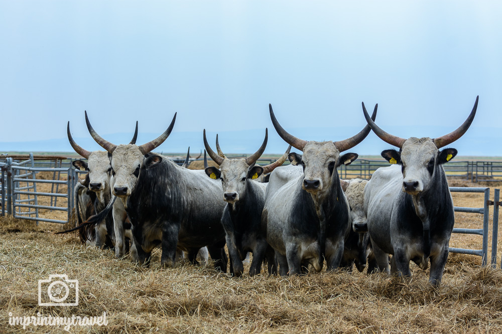 Ausflugsziel Nationalpark Neusiedlersee Rinder