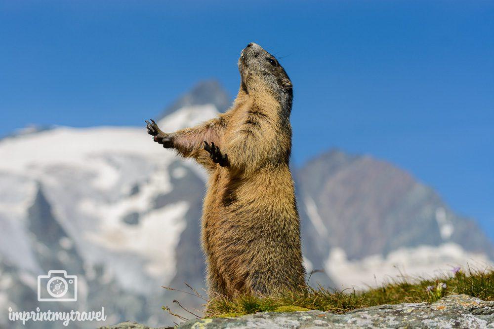Nationalpark Hohe Tauern Murmeltier