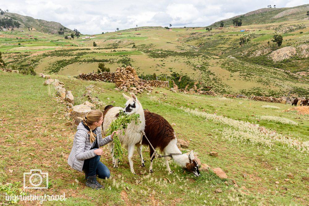 Bolivien Sehenswürdigkeiten Lamas