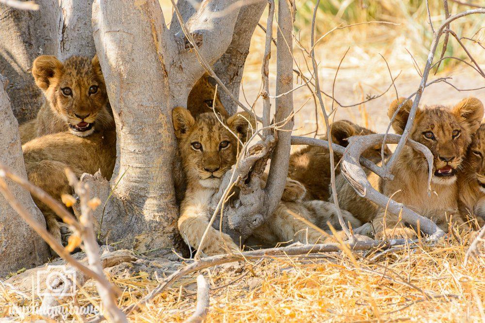 Safari in Botswana Moremi Loewenbabies