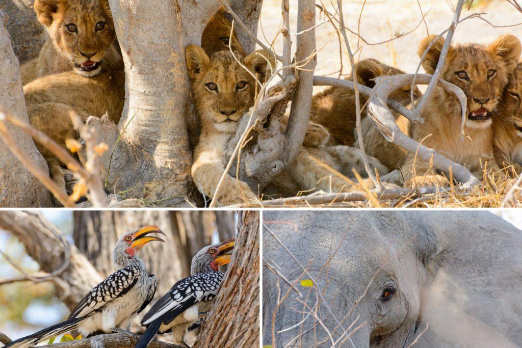 Safari in Botswana Titelbild